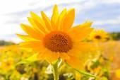 Campo Girasoli estate bella closeup fiore sole giallo — Foto Stock