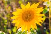 Field sunflowers summer closeup beautiful yellow flower sun — Stock Photo