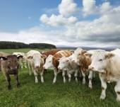 A group of cattle grazing on rich pasture in Scotland — Stock Photo