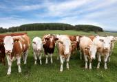 Herd of cattle in English countryside — Stock Photo