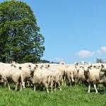 Herd of sheep — Stock Photo #60646113