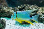 Snapper - Symphorichthys spilurus — Photo