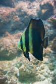 Platax orbicularis - Orbicular Spadefish — Stock Photo