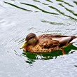 Duck wild on the water — Stock Photo #57596719