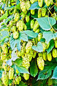 Hops blooming with leaves — Zdjęcie stockowe