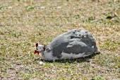 Guinea fowl sitting on grass — Zdjęcie stockowe