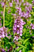 Stachys palustris — Stock Photo