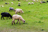 Sheep on pasture in the mountains — Stock Photo