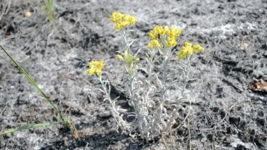 Ant on immortelle, yellow medicinal plant, summer environment diversity. — Stock Video