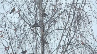 Birds sitting on birch — Vídeo de stock