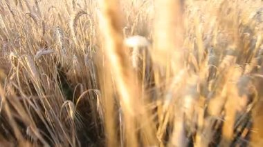 Wheat ears on field — Stock Video