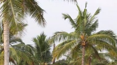 Coconuts on a palm tree — Stock Video