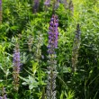 Garden lupin flowers — Stock Photo #69343037