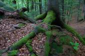 Moss on tree roots — Stock Photo