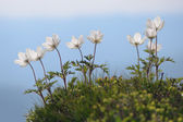 Flowers Anemone patens in the mountains — Stock Photo