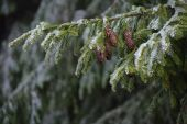 Spruce branches with cones and hoarfrost — Photo