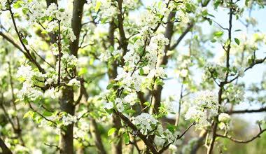 Na jaře kvetoucí větev. — Stock video