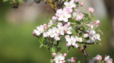 Bloeiende tak in het voorjaar van. — Stockvideo