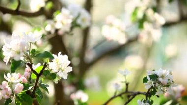 Blossoming branch in spring. — Stock Video