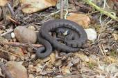 British grass snake — Stock Photo