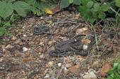 British grass snakes — Stock Photo