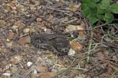 British grass snakes — Stock Photo