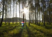 Sunrise in birch forest — Stock Photo