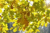 Oak wallpaper — Stock Photo