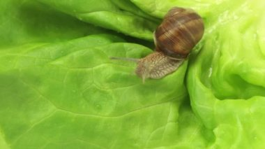 Snail fast crawling on lettuce — Wideo stockowe