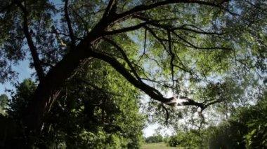 Willow tree sunshine — Stock Video