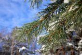 Borové větve pokryté bílým sněhem — Stock fotografie