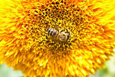 Pollination by bees big yellow flower — Stock Photo