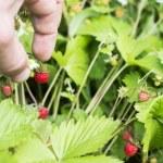 The process of harvesting wild strawberry — Stock Photo #77075453