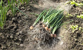 Plucked green onions in soil — Stock Photo