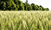 Field sown cereals - wheat — Stockfoto