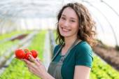 Young attractive farmer harvesting tomatoes — Stock Photo