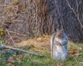 Grey Squirrel — Stock Photo