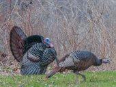 Wild Turkey — Stock Photo