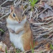 Chipmunk — Stock Photo #60169257
