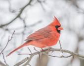 Male Cardinal  — Zdjęcie stockowe