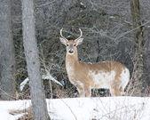 Piebald Whitetail Deer Buck — Stock Photo