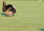 Wild Turkey  — Stock Photo