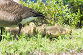 Canada Goose Goslings — Stock Photo