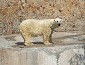 взрослый белый медведь в зоопарке — Стоковое фото