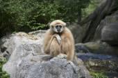 Gibbon solitario. Zoo de Chiang Mai — Foto de Stock