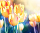 Nature background. Soft focus tulips flower in bloom. — Foto de Stock