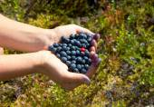 Human hands holding a handful of blueberries with one cowberry  — Stock Photo