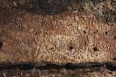 A piece of bark of the tree affected by bark beetle — Stock Photo