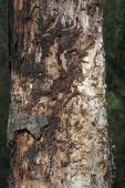Pine tree affected by bark beetle — Stock Photo