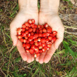 Human hands holding a handful of wild strawberries — Foto de Stock   #77139041